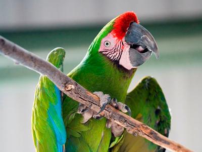 Hanging Macaw