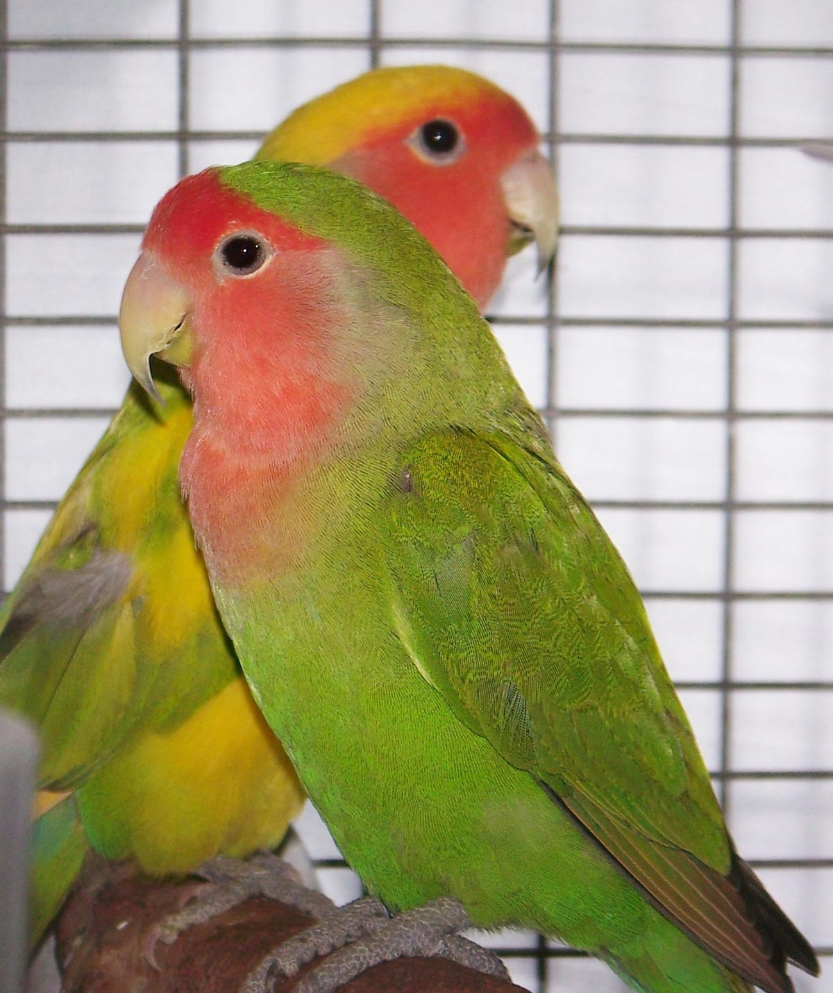 Lovebirds