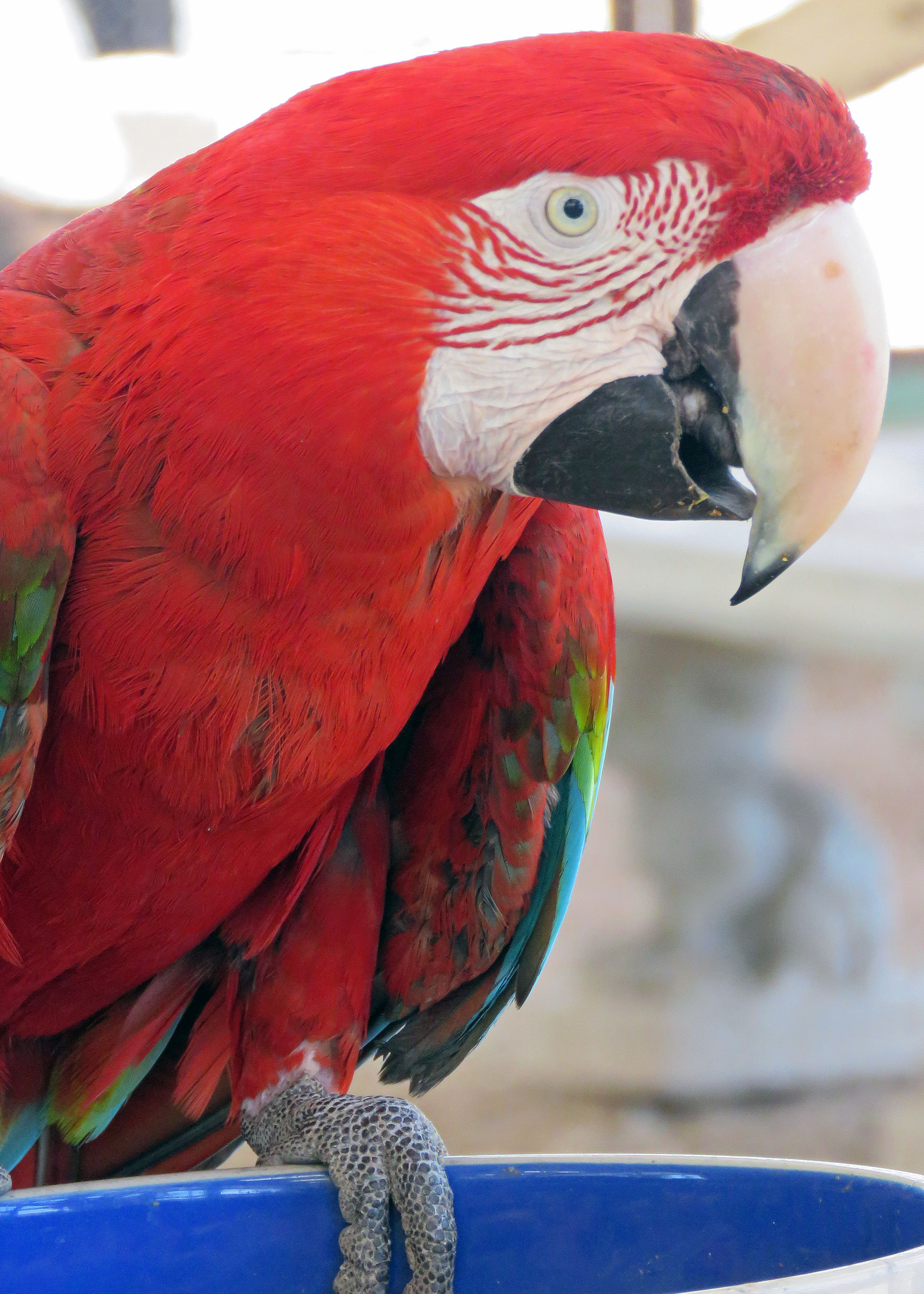 Henry GWMacaw 20190605 (3)