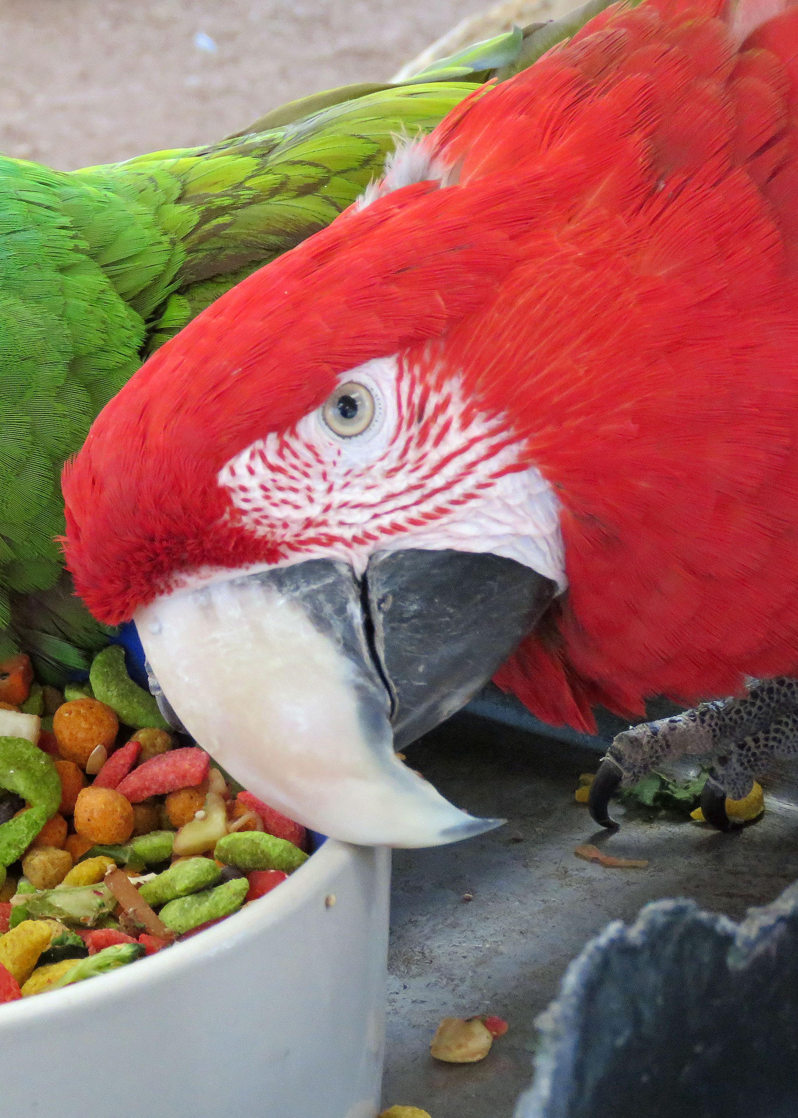 Sabrina Greenwing Macaw 2019