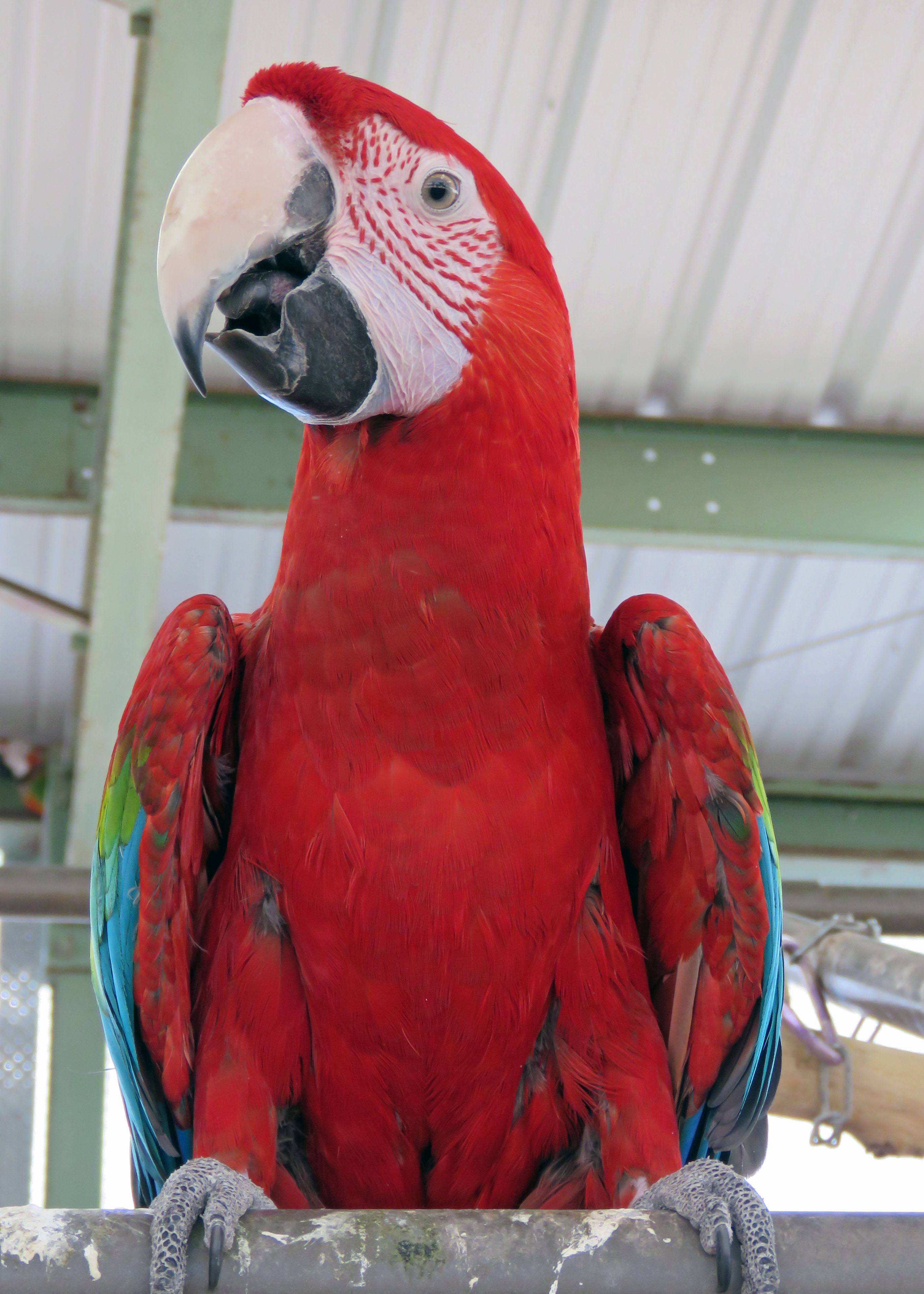 Captain GWMacaw 20190605 (7)