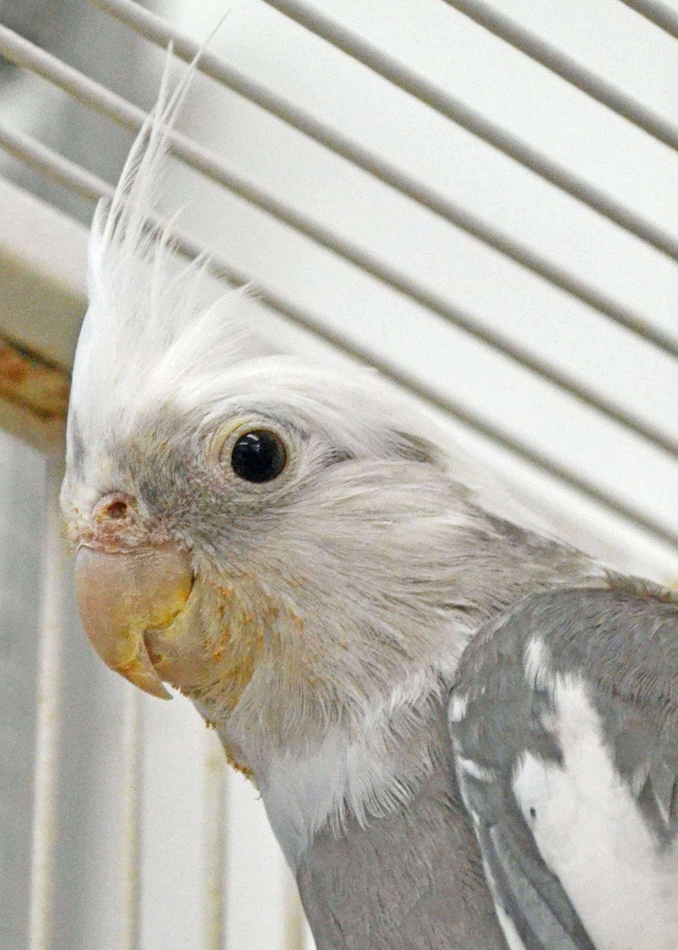 Finn, White Faced Cockatiel
